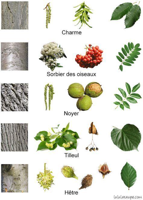 Les Arbres De La Foret Fleurs Fruits Ecorce Et Feuilles Reconnaitre Les Arbres Arbre Identification Des Arbres