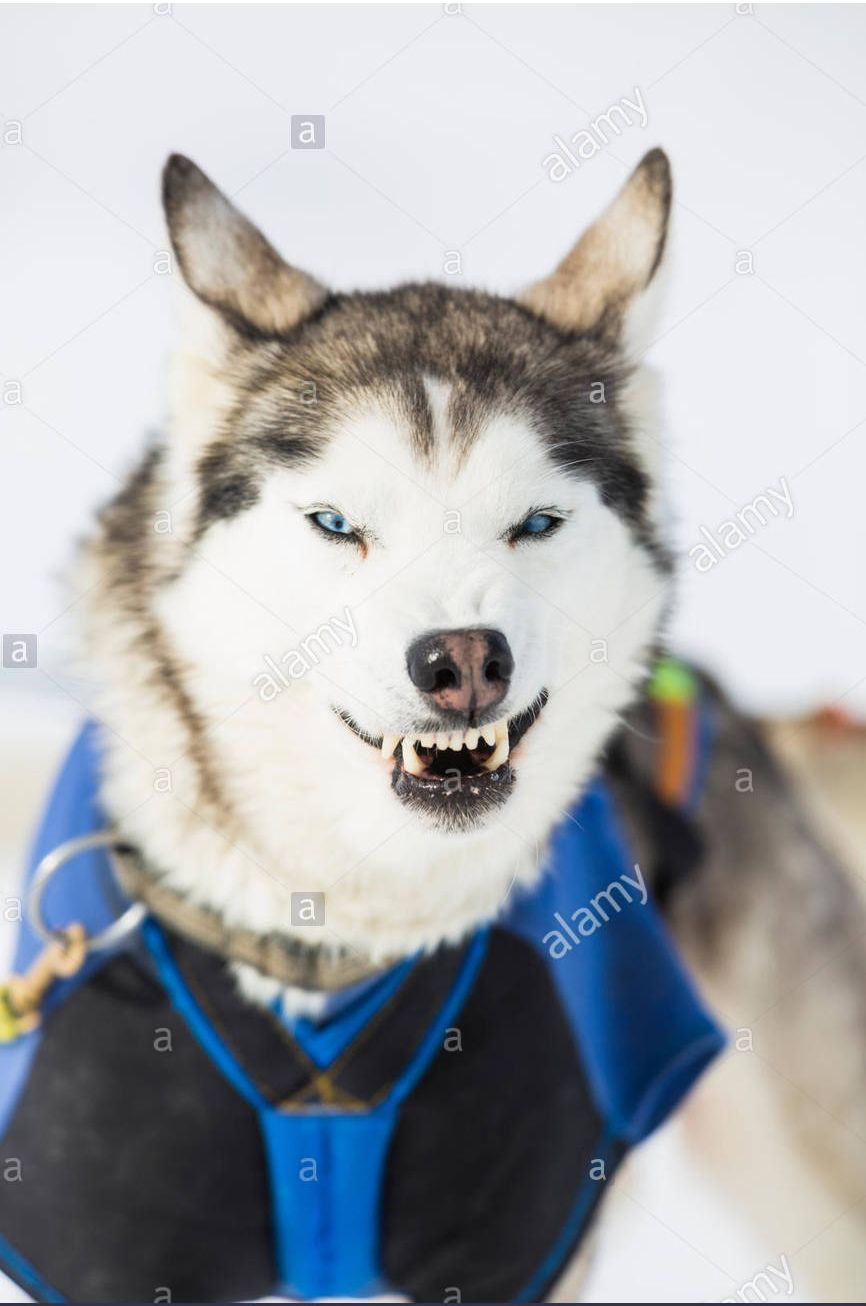 Pin By Husky Siberian On Angry Dogs