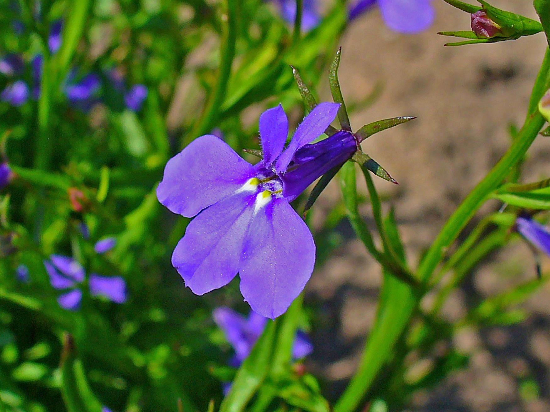 Flower Macro Of Lobelia Erinus Family Campanulaceae Common Names