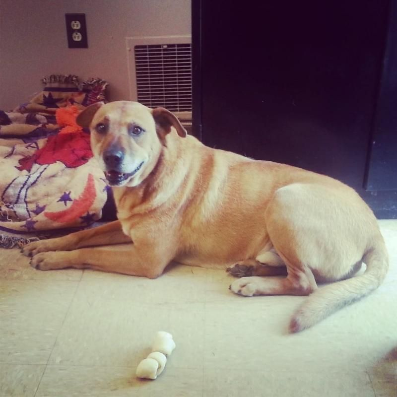 Adopt Pete On With Images Dog Adoption American Animals Pet Adoption
