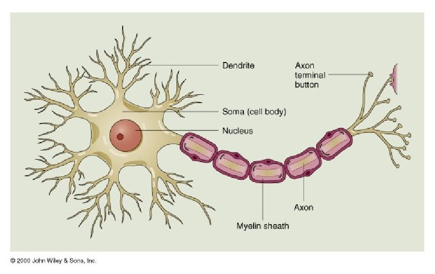 Image result for neuron model anatomy and physiology pinterest image result for neuron model ccuart Choice Image