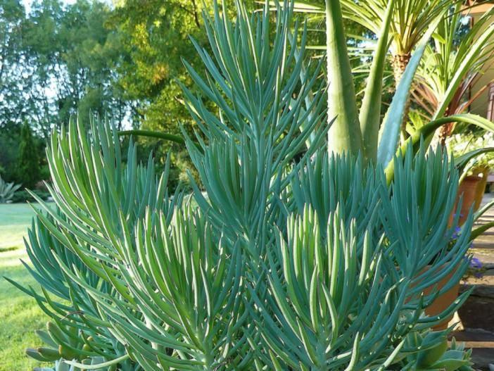 Senecio cylindricus (Narrow-leaf Chalk Sticks) | Backyard ... on narrow leaf hostas, narrow leaf evergreens, narrow leaf trees, narrow leaf grass, narrow leaf shrubs,