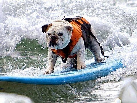 Tillman The Surfing Bulldog Youtube Bulldog Skateboard Bulldog English Bulldog