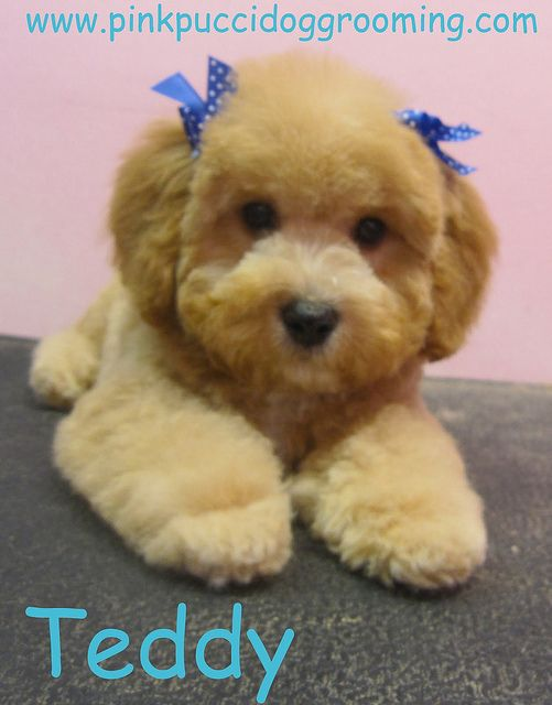 Teddy the Toy Poodle by PinkPucciDogGrooming, via Flickr