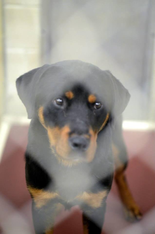 Rottweiler Puppies Ohio : rottweiler, puppies, Adopt, Kennel, Petfinder, Rottweiler, Adoption,, Animals, Friends
