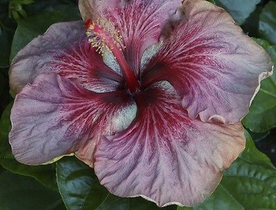 "Dragon Moon Tropical Hibiscus Plant in 4 5"" Pot | eBay"