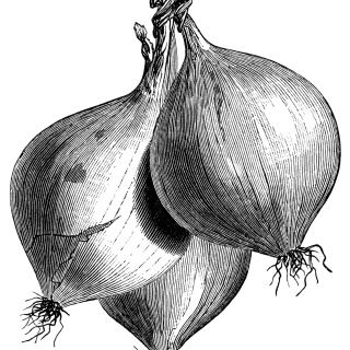 Clipart of Black and White Onions - Royalty Free Vector Illustration by Lal  Perera #1560703
