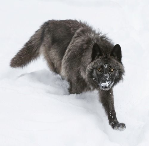 A black wolf on the move by Daniel Parent