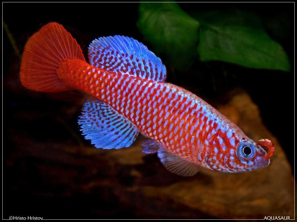 Nothobranchius_kilomberoensis_Ifakara_TAN_95-4 | Aquarium ...