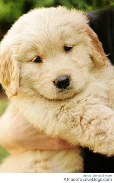 Wonderful Golden Retriever Chubby Adorable Dog - fc1a930e425d09ae52ea250d754b9fd8  Best Photo Reference_38533  .jpg