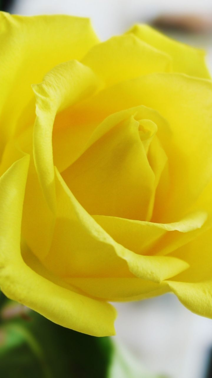 Yellow Rosesamsung Wallpaper Download Free Samsung Wallpapers