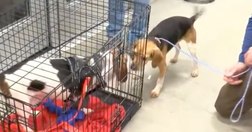 Beagles Thrown From Suv On Highway Reunited In Emotional Video