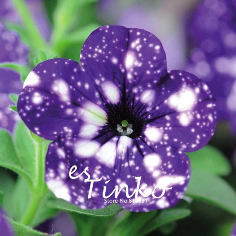 50 Of Petunia Night Sky Flower Seeds Plant Half Hardy Annual