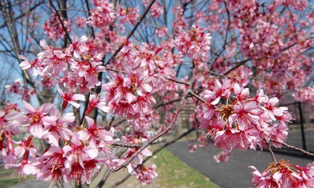 Look Cherry Blossom Trees Flourish In Newark Blossom Trees Trees To Plant Cherry Blossom Tree
