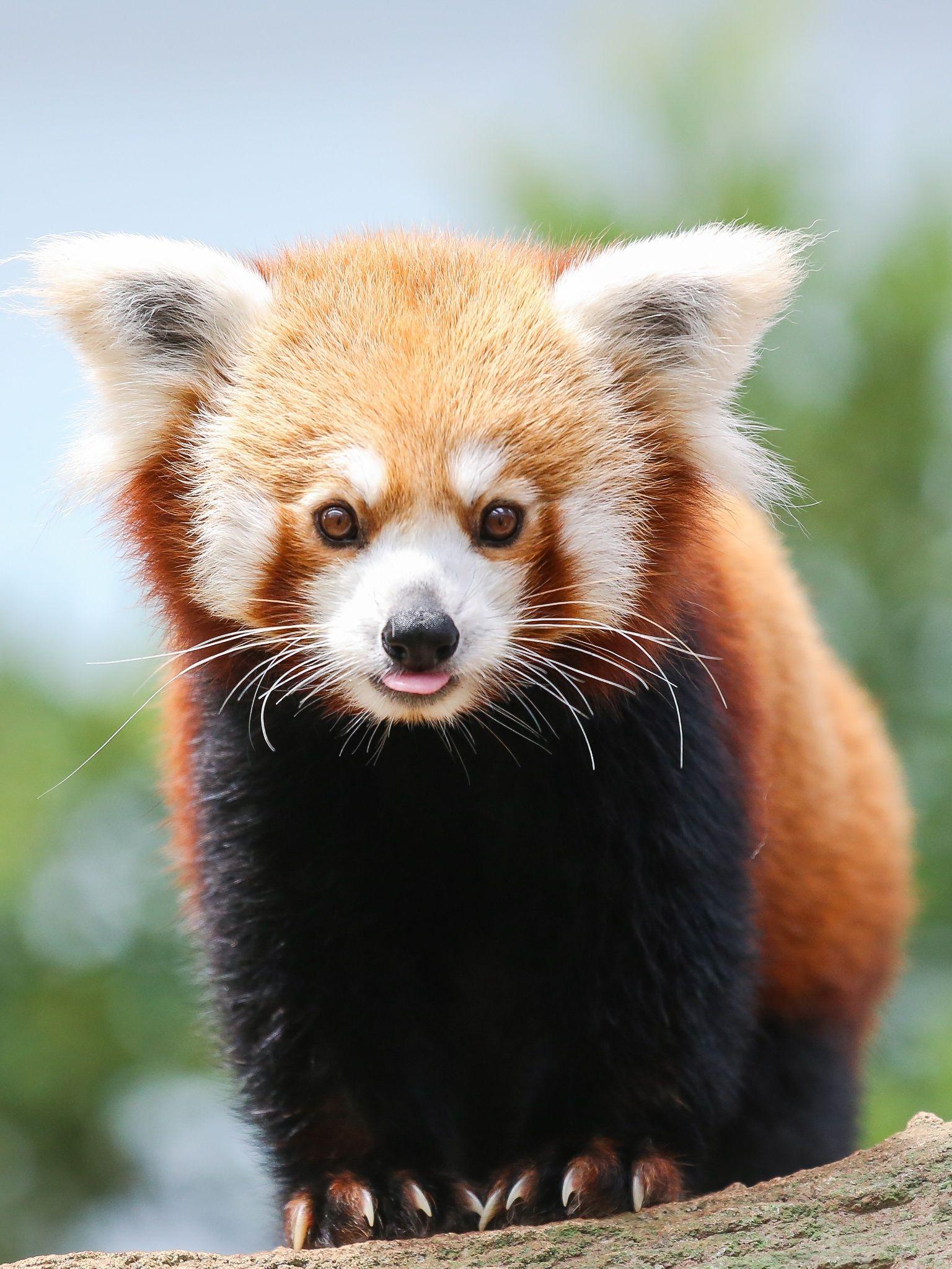 Panda Rosso (Cucciolo) - Panda Rosso  Red Panda -