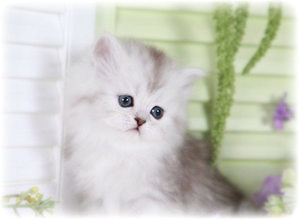 Shaded Silver Teacup Persian Kitten For Sale Teacup Persian Kittens Teacup Cats Baby Cats