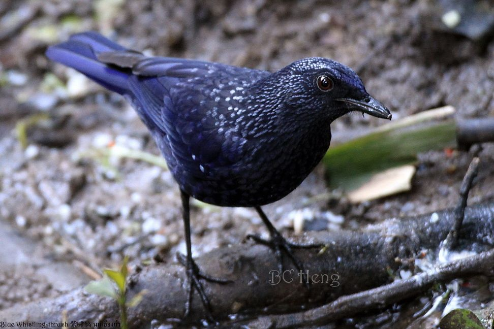 Blue Whistling-thrush (caeruleus) 紫啸鸫 นกเอี้ยงถ้ำ