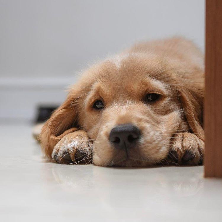 Uk Ukdogsofinsta Wirral Gdpupintraining Welovegoldens Kitchenfloor Coldtiles Puppy Puppytrip Thestatelyhound Guide Dog Puppies Dogs