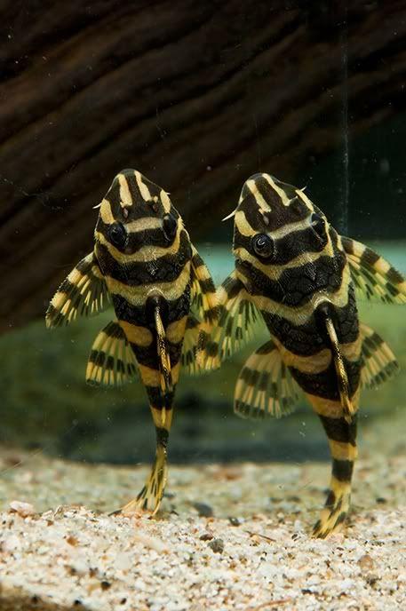 L134 And L333 Pleco Special Freshwater Aquarium Fish Tropical Fish Aquarium Tropical Fish Tanks
