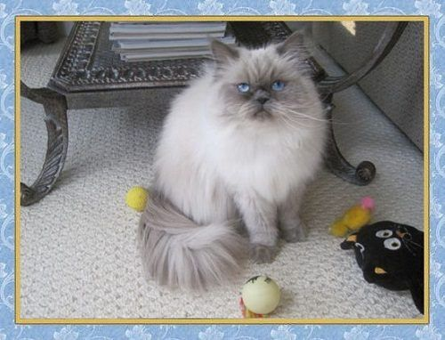 Attention Long Haired Cat Breeds Blue Point Cat Long Hair Cat