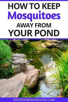 Backyard ponds can become a breeding ground for mosquitoes ...
