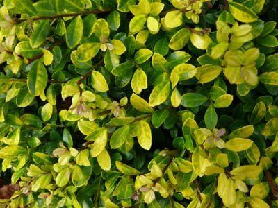 Ilex crenata \'Golden Gem\' : dense habit, the annual growth being 10 ...