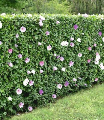 winterharte hibiskus hecke 10 pflanzen hibiscus syriacus sichtschutz garten pinterest. Black Bedroom Furniture Sets. Home Design Ideas