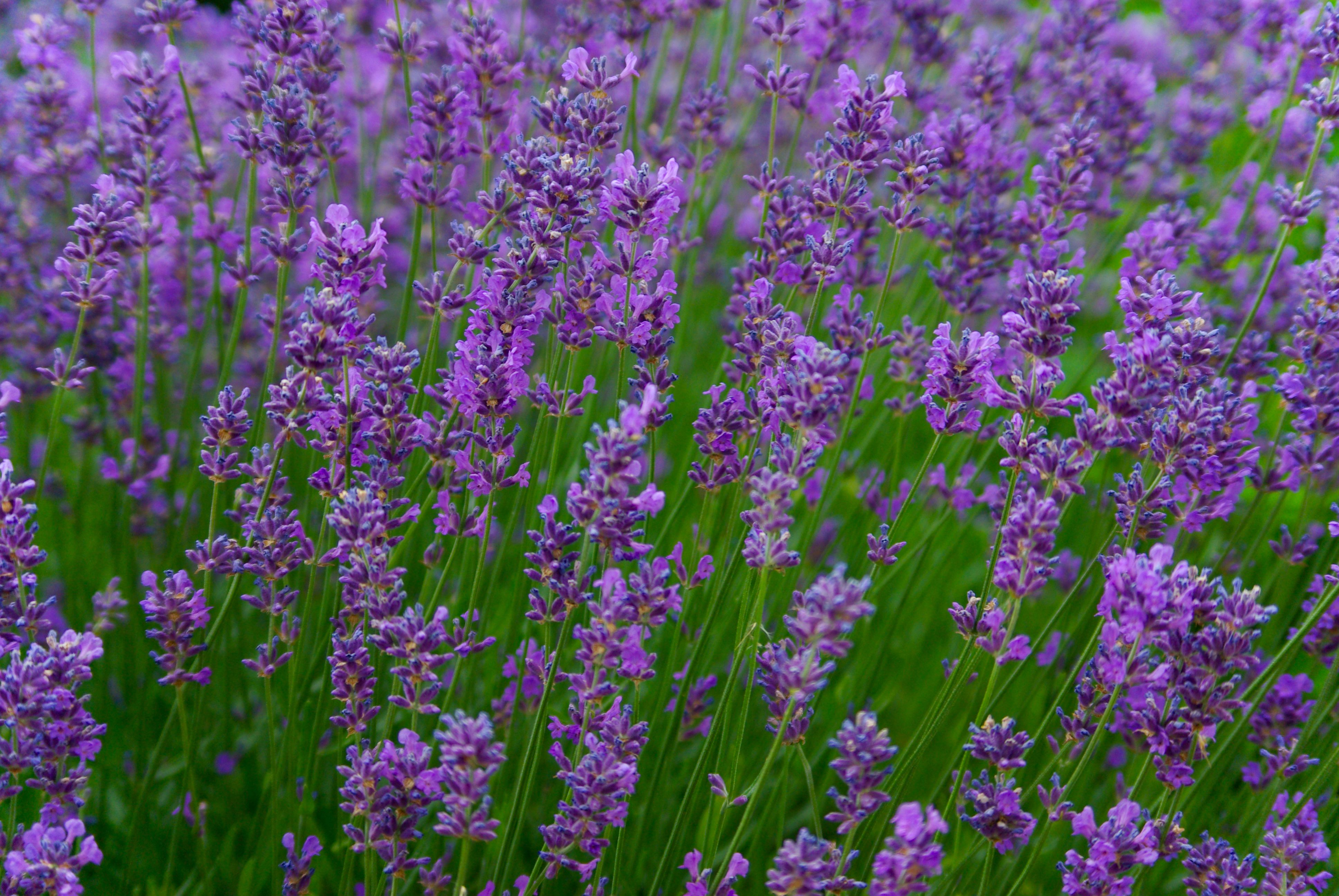 Lavender Lavender Perennial Edible Flowers You Can Eat Lavender
