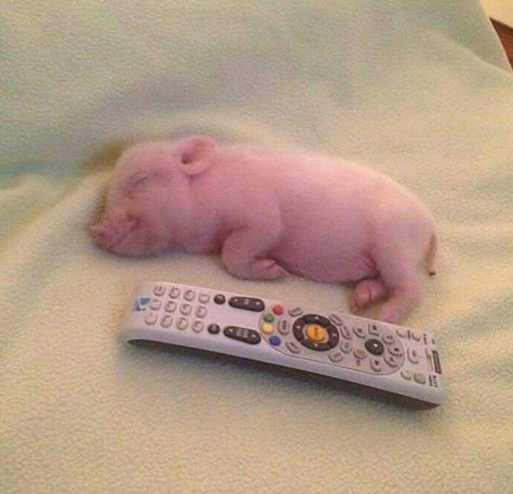 Pet Pig Page 26 Of 26 Cute Baby Pigs Cute Piglets Cute Pigs