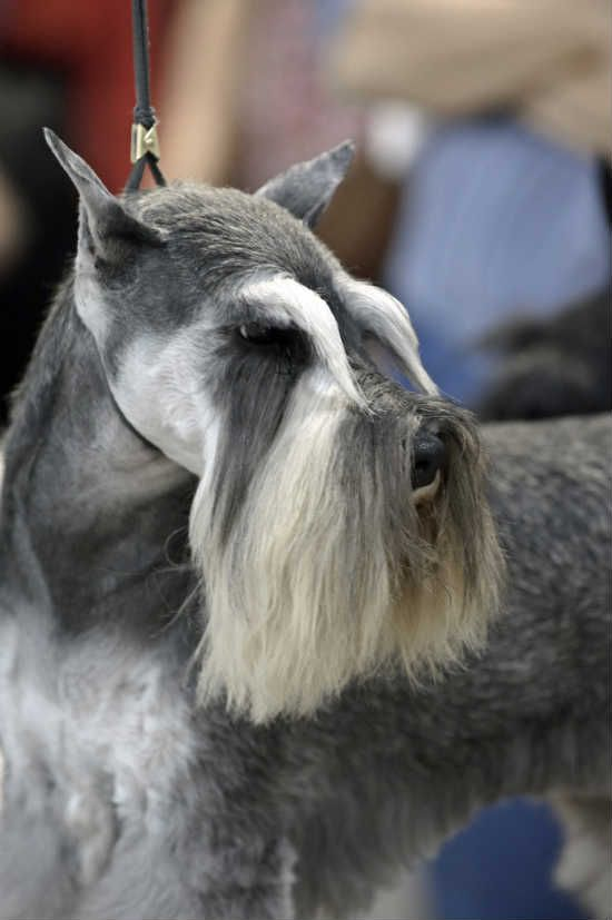 We Elected To Leave The Hair On Top Of His Head A Bit Longer Than Standard To Keep His Puppy Look Usua Schnauzer Breed Schnauzer Grooming Miniature Schnauzer