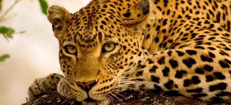 Viajes Sudáfrica parque nacional kruger leopardo