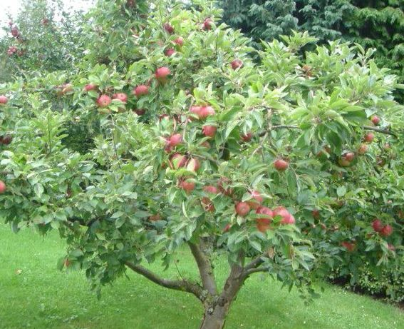 How To Grow Honeycrisp Le Trees So Excited For Our Tree Start Producing Fruit In A Few Years