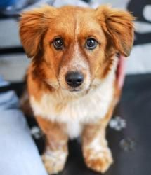 Woody Is An Adoptable Corgi Mix Dog In Roanoke Va Could This Be