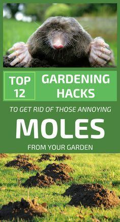 Moles Are A Real Problem For Any Gardener Even If These Small Animals Don T Nibble The Roots Of The Plants Becau Gardening Tips Mole Growing Winter Vegetables