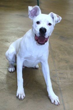 White Boxer Lab Mix Cute Animals Pets Furry Friend