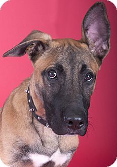 Chicago Il Belgian Malinois Meet Goliath A Puppy For Adoption