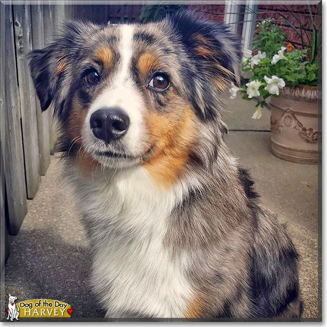 Read Harvey S Story The Miniature Australian Shepherd From Ontario Canada And See His Photos At Australian Shepherd Aussie Dogs Miniature Australian Shepherd