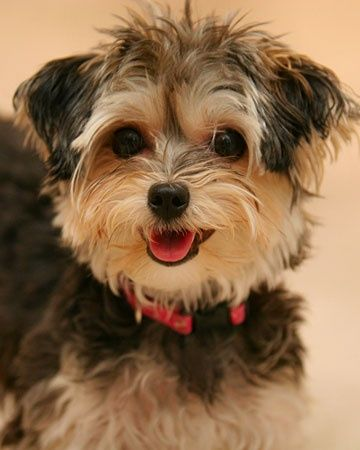 A Morkie A Yorkie Maltese Mix Oh My Gosh Morkie Puppies Puppies Cute Dogs