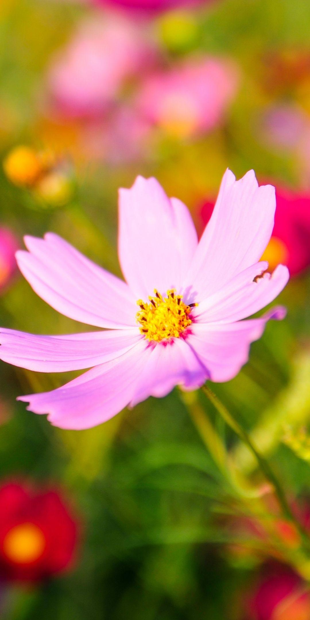 Cosmos pink flower blur bloom 1080x2160 wallpaper