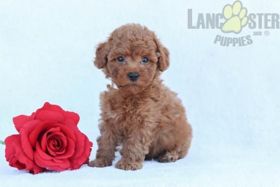 Oliver Miniature Poodles Puppy For Sale In Liverpool Pa