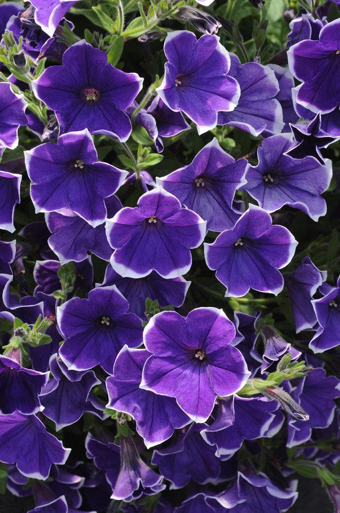 056 Flowers Purple Petunias Purple Garden Purple Flowers
