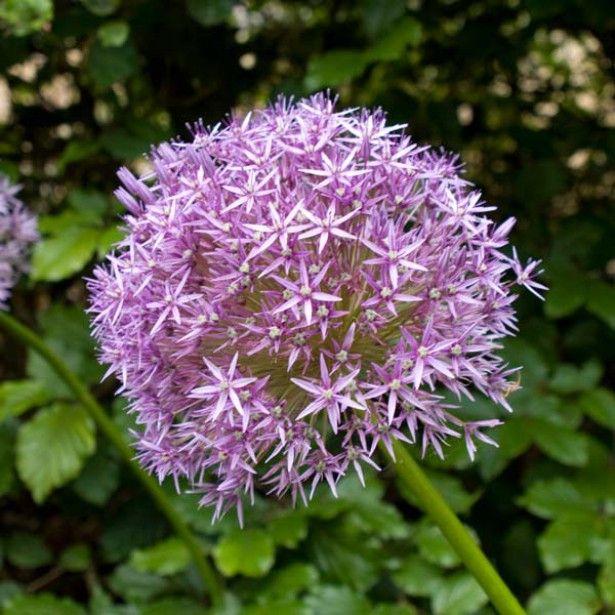 L\'Allium Globemaster, des ombelles de fleurs étoilées rose-mauve ...