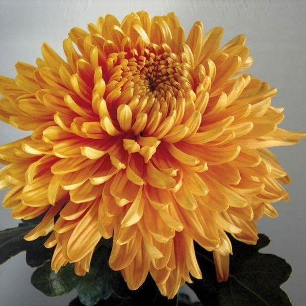 Chinese Chrysanthemum Meaning Image Source Www Inkdancechinesepaintings Com Chrysanthemum Painting Chrysanthemum Chrysanthemum Chinese