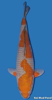 Koi Fish Ochiba Shigure Koi Fish Koi Koi Carp