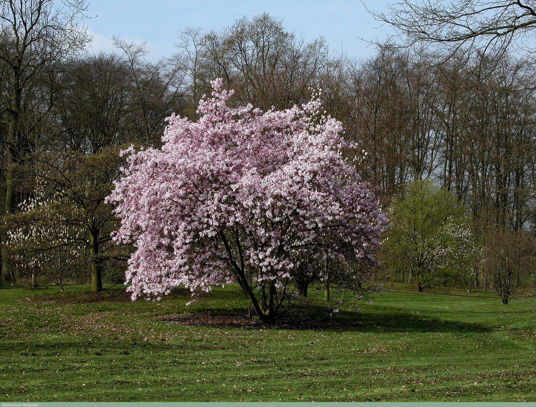 Magnolia 215 Loebneri Leonard Messel Ideas For The House