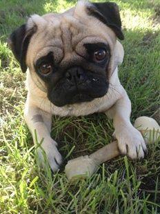 Simone Could Quite Have The Most Adorable Pug In Town Sunday