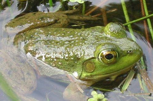 The bullfrog is the only animal that never sleeps.   Bullfrog, Animals, Herp