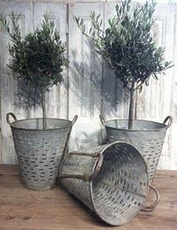 olive trees in  vintage zinc buckets