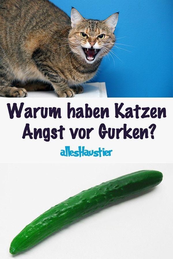 Warum Haben Katzen Vor Gurken Angst