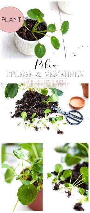 Pilea vermehren mit Baby Pflanzen von